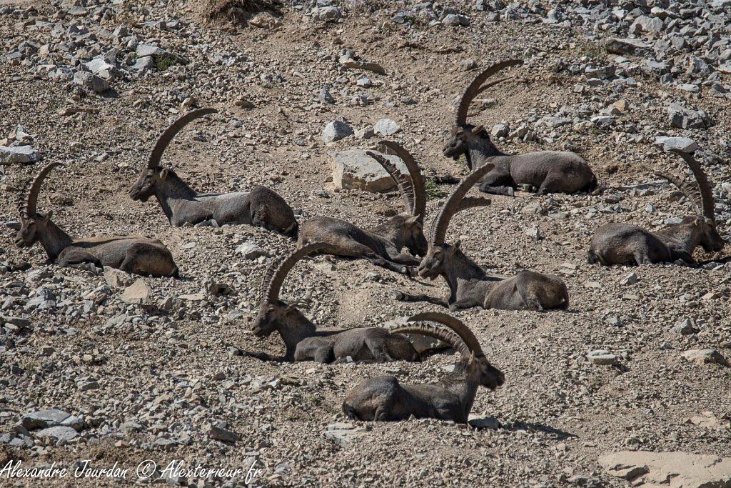 Le repos des grands mâles, Bouquetins des Alpes (Capra ibex)